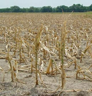 The potential effect on corn of the 2012 drought